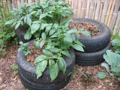 grow potatoes in old tires