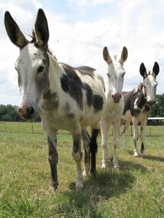 Located in central South Carolina.  We are dedicated to raising the best spotted donkeys around!  Our donkeys are bred for color, temperament, and conformation.