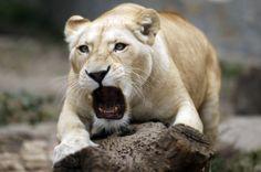 white lion at Belgrade Zoo