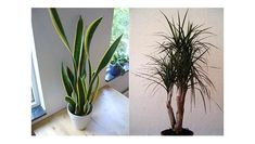 mother in law tongue plan and dracena Best air- filtering house plants ,according to NASA Best Indoor Plants, Cool Plants, Air Filtering Plants, Air Plants, Best Air Filter, Limpieza Natural, Mother In Law Tongue, Deco Studio, Chlorophytum