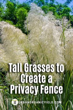 Tall ornamental grasses and other decorative tall grasses can make great privacy fence for you backyard or front of the house. See our top 14 tall grasses and plants to grow in your backyard garden or landscape. #BackyardGardening #OrnamentalGrass #TallGrass #Plants #Gardening #UrbanOrganicYield Privacy Trees, Privacy Plants, Privacy Landscaping, Hillside Landscaping, Privacy Fences, Ornamental Grasses For Shade, Ornamental Grass Landscape, Tall Grasses, Landscape Grasses