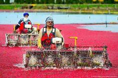 Đam mê du lịch: Đỏ rực mùa thu hoạch việt quất ở Richmond