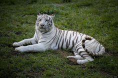 A white tiger (Panthera tigris) is seen at the zoo in Cali, Colombia, on April 21, 2012. Colombia has the second largest biodiversity in the...