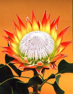 King Protea (Protea cynaroides) - national flower of South Africa