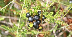 """I Norrland växer ett bortglömt bär som är rena hälsobomben för din kropp     Ledtråd: Det är inte blåbär.  Bäret heter Kråkbär  Translate from Swedish //  In northern Sweden grow a forgotten berry that is very healthy for your body   Hint: It's not blueberries. This berry is called """"Kråkbär"""" """"Crowberry"""""""