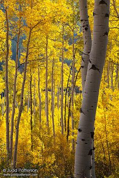 ~~Backlit ~ backlit autumn leaves of an aspen forest, Aspen, Colorado by Judd Patterson~~