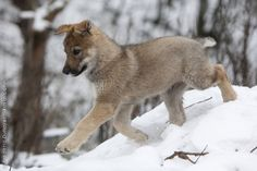Czechoslovakian Wolfdog Information and Pictures, Czechoslovakian ...
