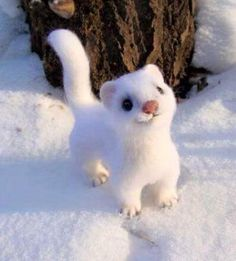 It's a short tailed weasel