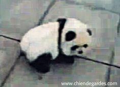 Incroyable chien chinois qui ressemble à un panda