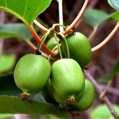 Issai Kiwi (Green) Vine - Hardy - Self Fruitful - Easy to Grow - 2.5' Pot