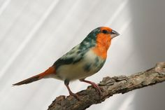Red Faced Parrot Finch | Click on the smaller image to launch a larger photo of the Red Faced ...