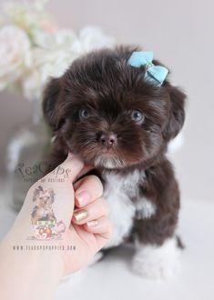Chocolate Shih Tzu Puppies Davie | Teacups, Puppies & Boutique ...