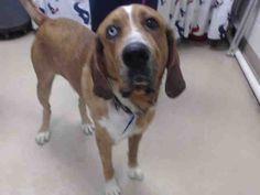 Redbone Coonhound dog for Adoption in Houston, TX. ADN-502194 on PuppyFinder.com Gender: Male. Age: Adult