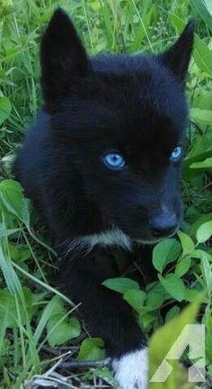 All Black Husky, Black Siberian Husky, Black Puppy, Siberian Husky Puppies, Wolf With Blue Eyes, Puppies With Blue Eyes, Beautiful Wolves, Beautiful Dogs, Baby Huskys