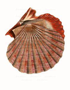 ORANGE SEA SHELL  digital download  printable antique by Anamnesis, $3.99