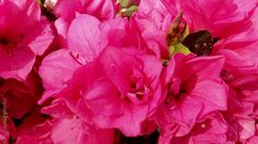 Azalea kurume 'Hershey's Red'	HERSHEY RED AZALEA	flowering evergreen shrub	part sun	Size in 10 years: 3'x5'	Dense mounding habit	BLOOM: Red	Hose-in-hose	March-April	FALL COLOR: Green	FOLIAGE: Evergreen	Well drained acidic soil	Protect from winter winds