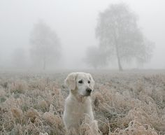 English Cream Golden Retriever In The Mist
