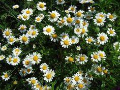 Chrysanthemum cinerariifolium | piante da Seme - Azienda Agricola Le Officinali VIVAI PIANTE