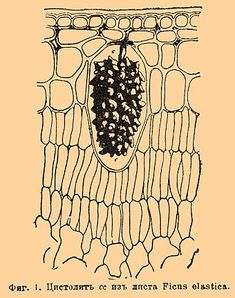 Cystolith - Wikipedia Plasma Membrane, Ficus Elastica, Rubber Plant, Plant Cell, Cell Wall