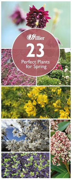 We share our 23 favourite spring plants over on our website, from Amelanchier to Skimmia. Spring Plants, Spring Garden, Perfect Plants, English Roses, Bulb, Advice, Gardening, Website, Board