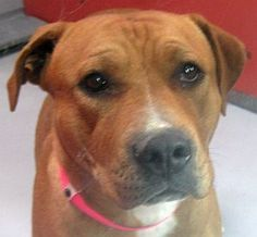 *BREEZY - ID#A690369    Shelter staff named me BREEZY.    I am a female, brown and white Pit Bull Terrier mix.    The shelter staff think I am about 1 year and 7 months old.    I have been at the shelter since Dec 21, 2012.