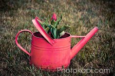 Tulip in a Red Watering Can Print