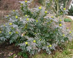 A dense and bushy evergreen shrub with 20 cm long pinnate leaves each with up to 9 leaflets. The glossy (Holly-like) foliage turns redish in winter and it also bears clusters of small yellow flowers in spring. It is quite hardy and will tolerate shade. Small Yellow Flowers, Small Shrubs, Contemporary Cottage, Garden Shrubs, Evergreen Shrubs, Plant Design, Back Gardens, Apollo, Landscaping Ideas