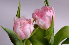 Two bud tulips