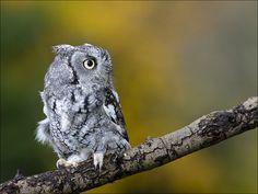 {Eastern Screech Owl}