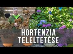 Így teleltesd a hortenziád! - videó - kert.tv Neon, Plants, Gardening, Youtube, Lawn And Garden, Neon Colors, Plant, Youtubers, Youtube Movies