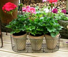 Set of Three very rustic terracotta pots in a wire basket. I filled mine with pretty Geraniums.   By Gertie & Mabel