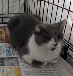 Meet Suzie  (FCID# 07/01/16 -110 Christiana PetSmart), an adoptable Domestic…