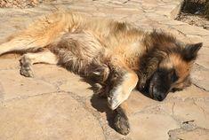 #sanson #beautiful #dog