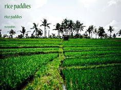 Rice paddies in Seminyak, Bali