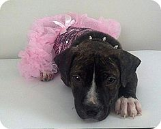 ●7•21•16 SL●- American Pit Bull Terrier Mix Dog for adoption in nashville, Tennessee - Violette