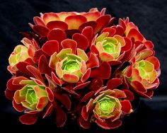 Aeonium Velour ...beautiful multi headed.