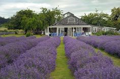 Lavender Tea House, Frutillar-Chile End Of The World, Wonders Of The World, Sur Chile, Living In Peru, Travel Humor, Funny Travel, Free Travel, Amazing Nature, South America