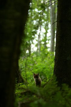 fox in woods