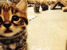 Philadelphia Zoo Black-footed Cat Kittens - CUTENESS. OVERLOAD. (You've been warned.)