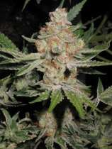 Alien Dog Weed Strain - Gather up all those family photos and identify those in them to help your #family_researchers in future times, and get them online in your own #Genealogy_website!