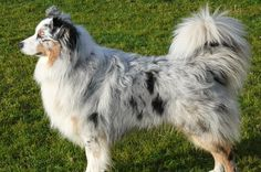 Oh the tail , love the tail .  Australian Shepard  BEAUTIFUL TAIL.  Please stop, don't dock tails. Let them be.    docking mixed breeds too?  Why? Why?  SHHH.. There is a good answer for that. No more wasted words.