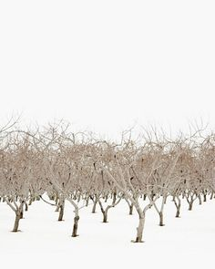 Scandinavian design peaceful winter landscape photography of bare orchard trees in winter. Rows of champagne-taupe dormant fruit trees surrounded by white sky and snow. Colour Pallette, Colour Schemes, Manado, Tree Images, Winter Trees, Winter Snow, Winter Holidays, Winter Beauty, Winter Wonder