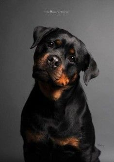 Top 10 Most Expensive Dog Breeds – Rotweiler