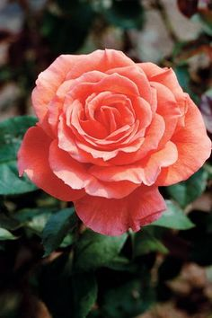 Tropicana - One of my favorite roses. Just bought another one for the new house. :-)