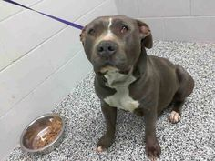 URGENT! PREGNANT AND ON DEATH ROW! MARIAH - ID #A460778 (MUST EXIT ON 2/12)   Rescue only ~ PREGNANT! I am a female, blue and white Pit Bull Terrier.  Shelter staff think I am about 1 year and 6 months old. #CA, San #Bernardino City Animal Control at (909) 384-1304. http://www.petharbor.com/pet.asp?uaid=SBCT.A460778