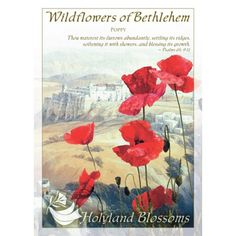 http://www.holylandblossoms.com/the_poppy#.UWsribVJOAg #Poppy #HolylandBlossoms