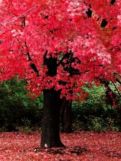 Pink Fall Trees Leaves Wallpaper Iphone Autumn