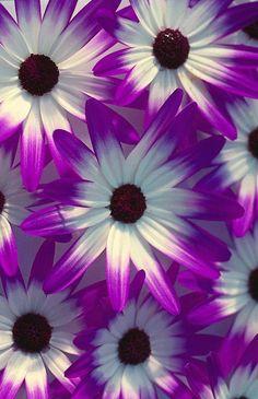 Senetti 'Violet Bi-color'