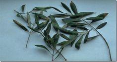 Olvídate de las hemorragias cerebrales, diabetes, hipertensión, enfermedad de alzheimer con el uso de estas hojas.