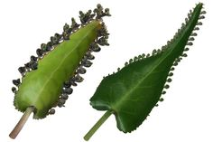 Natural Remedies for Varicose Veins - Everyday Remedy Healing Herbs, Natural Healing, Home Remedies, Natural Remedies, Varicose Veins, Health And Beauty Tips, Health Diet, Herbalism, Plant Leaves